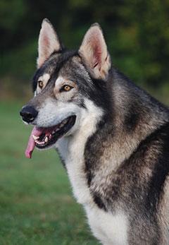 chien inuit du nord