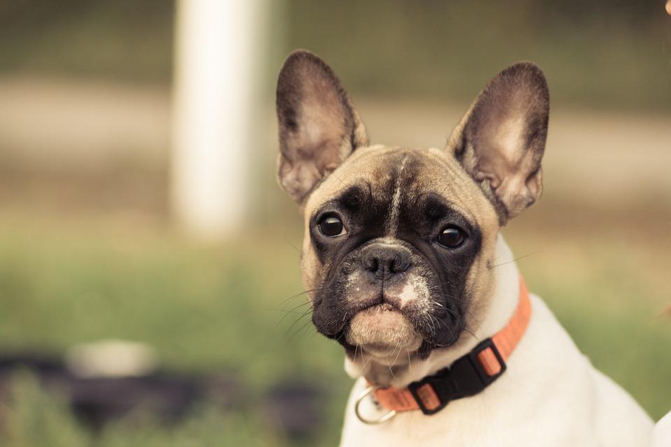 chien bulldog collier
