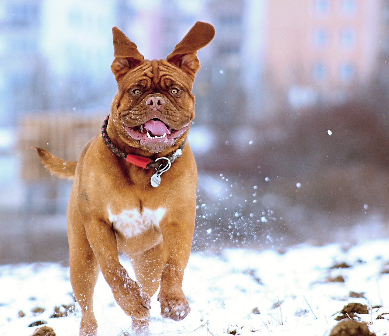 chien mastiff court neige hiver heureux