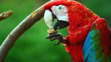 perroquet mange