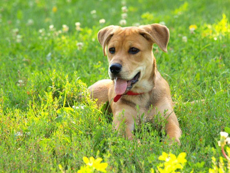 chien court herbe