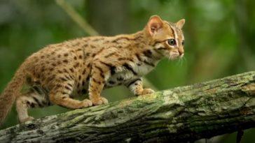 chat léopard de l'inde