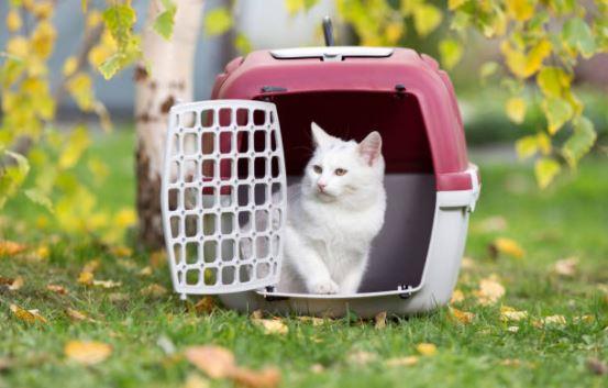 chat blanc caisse de transport