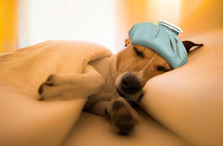 chien malade couché lit