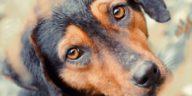 chien regard triste