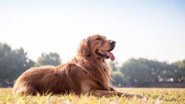 chien golden retriever couché soleil herbe