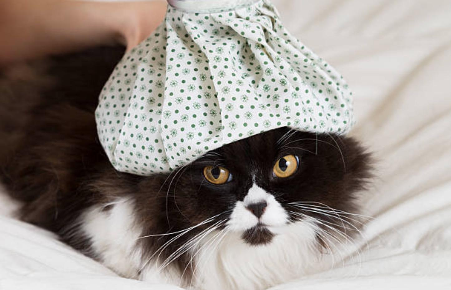 chat fièvre