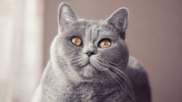 chat british shorthair regard