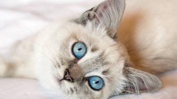 chat yeux bleus regard couché