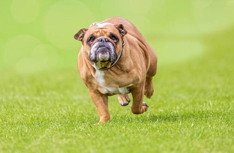 chien gros obèse court