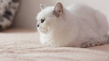 chat blanc couché gros obèse