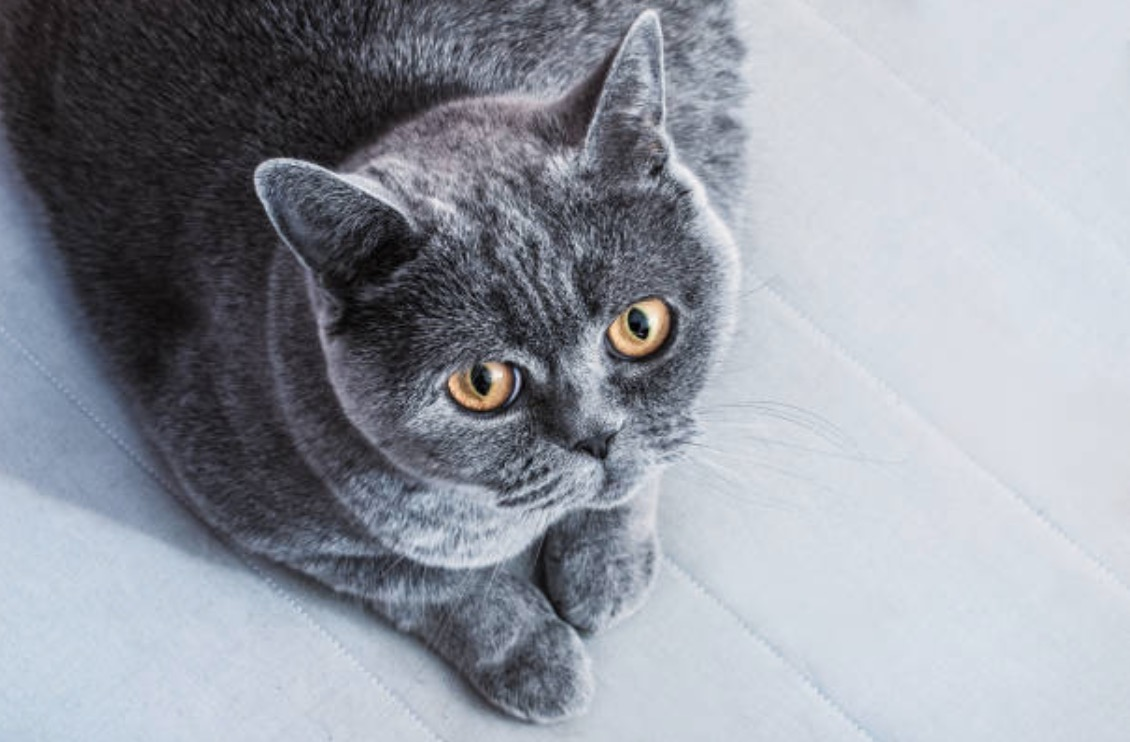 chat gris british shorthair