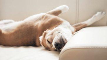 chien dort canapé