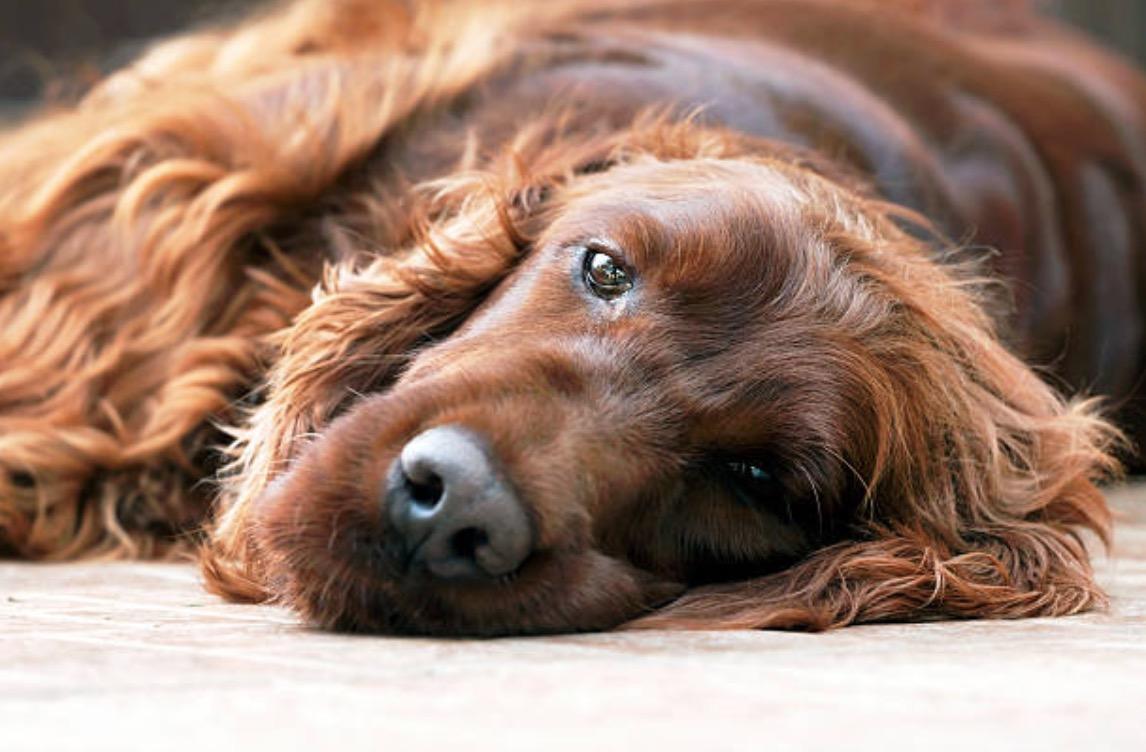chien triste couché