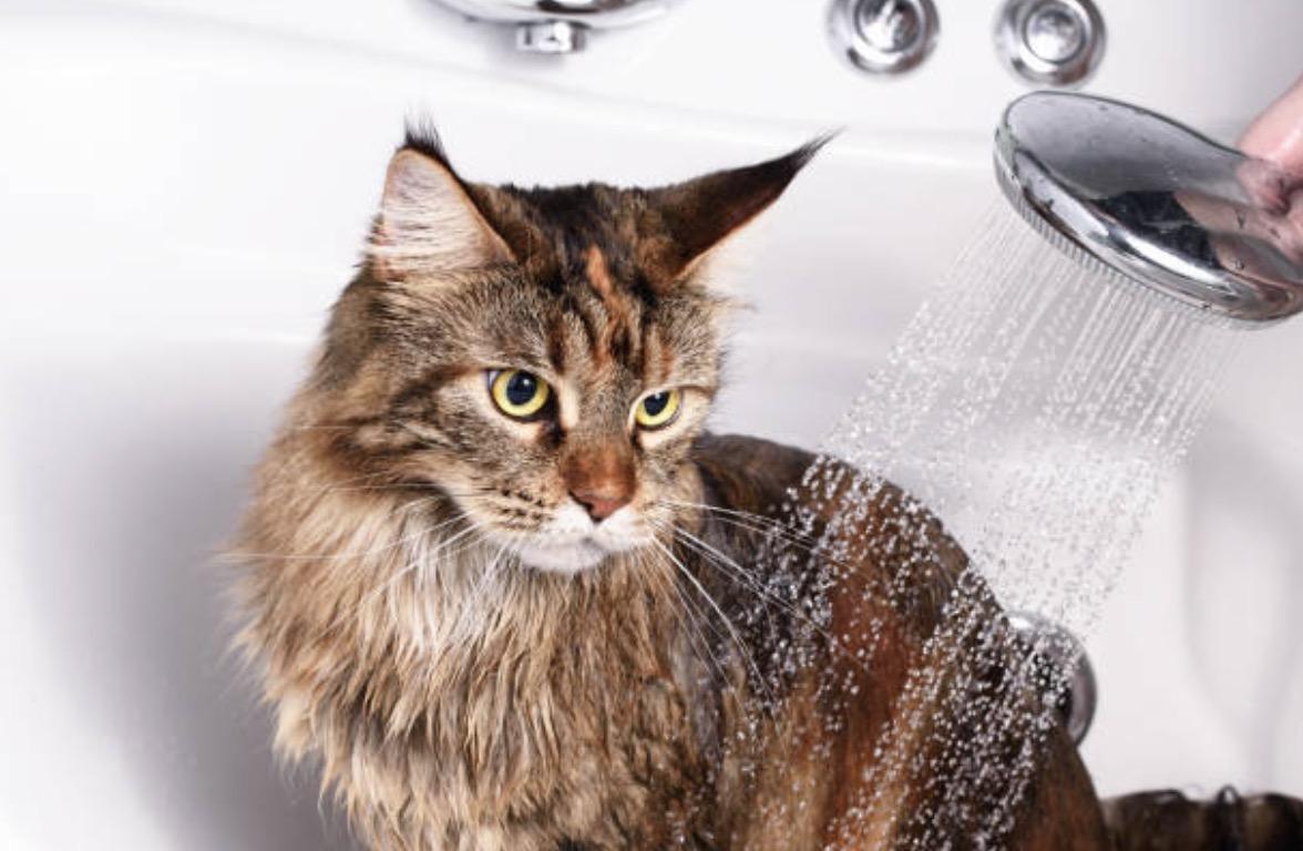 laver un chat qui n 39 aime pas l 39 eau 3 astuces pour y arriver. Black Bedroom Furniture Sets. Home Design Ideas