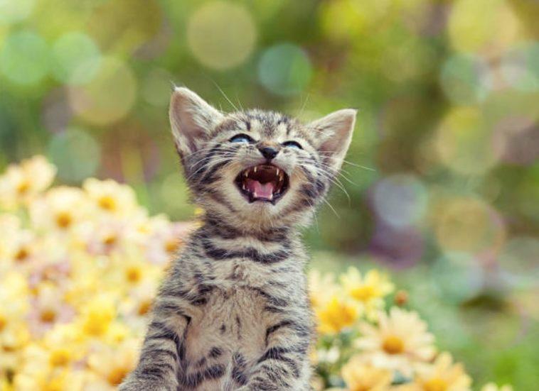 chaton miaule