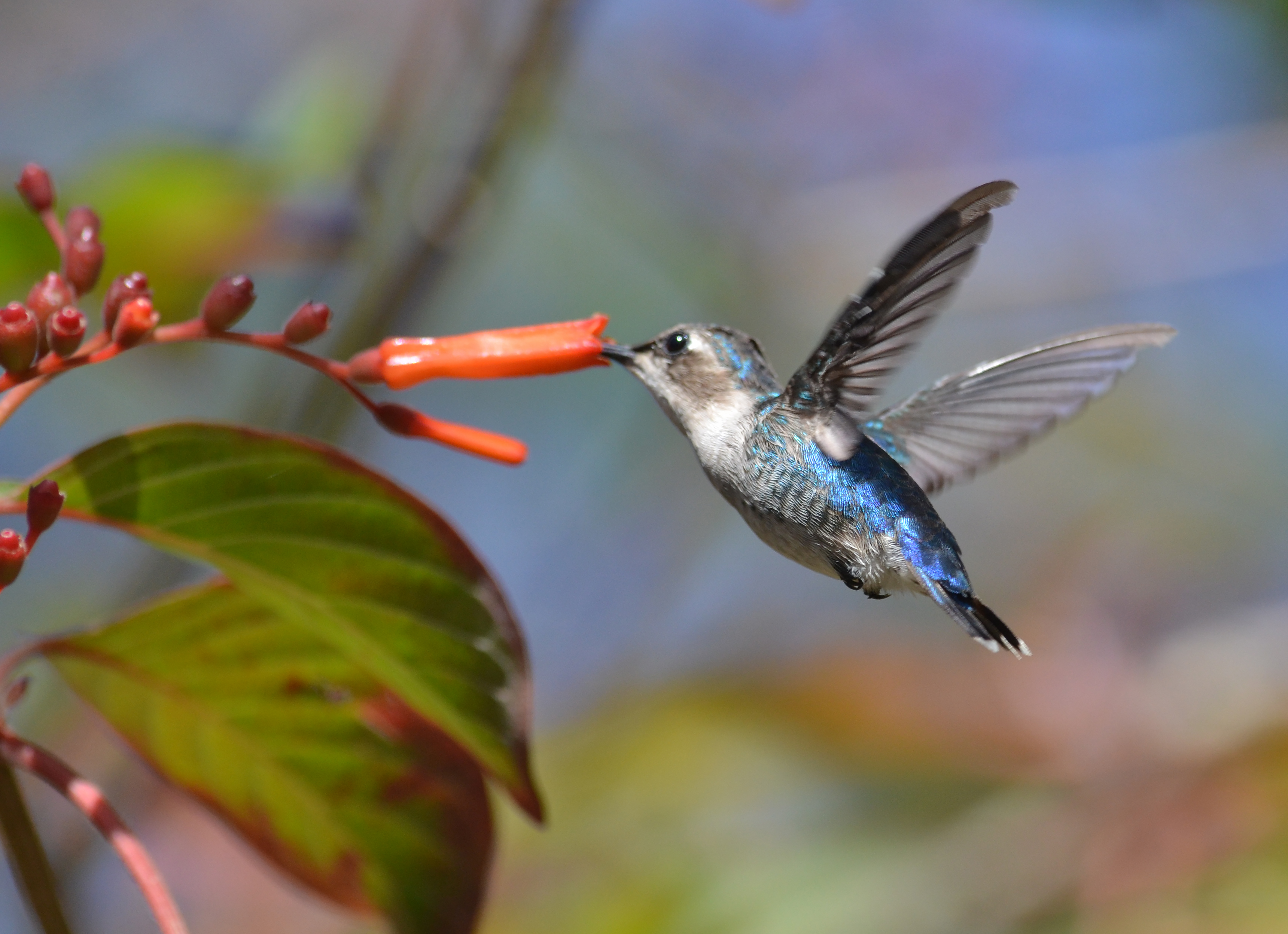 colibri abeille