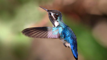 oiseau colibri abeille elena