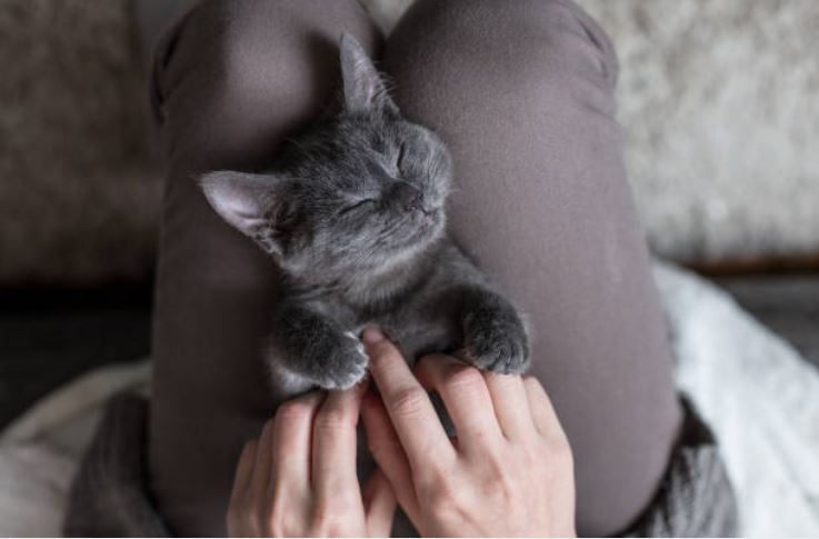 chaton gris dort couché genoux humain câlin