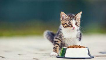 chat chaton mange croquettes