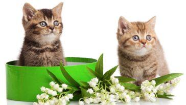 chatons muguet plante