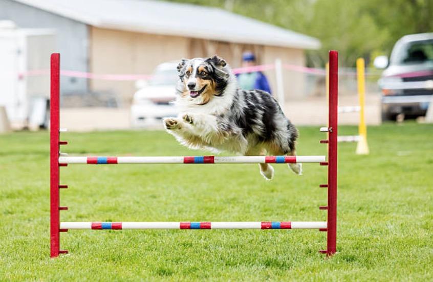 chien berger australien saute agility
