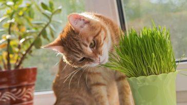 chat herbe mange