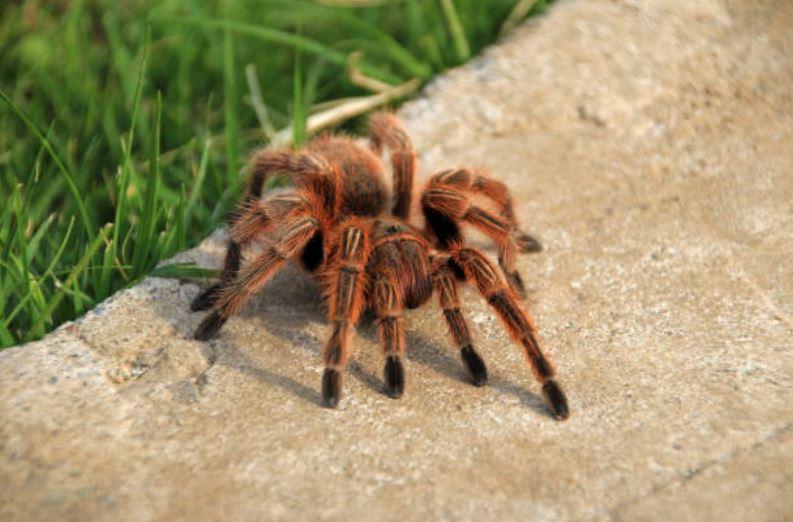 araignée tarentule