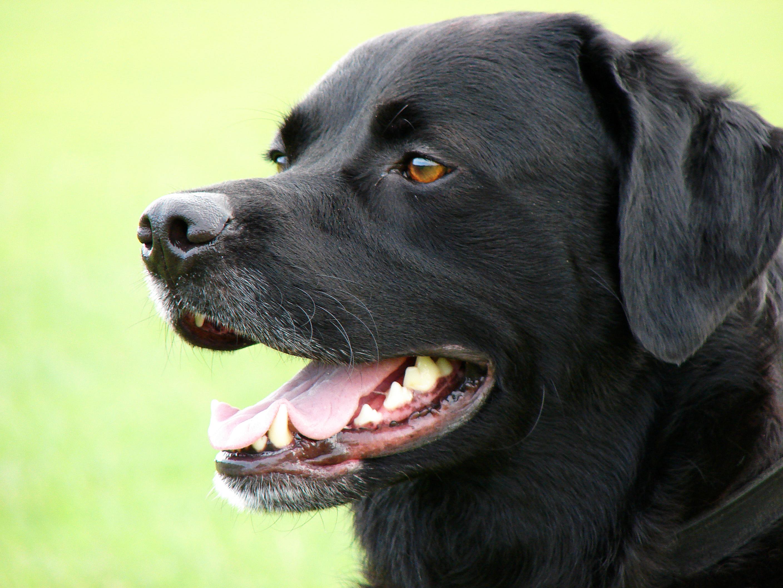 chien labrador noir
