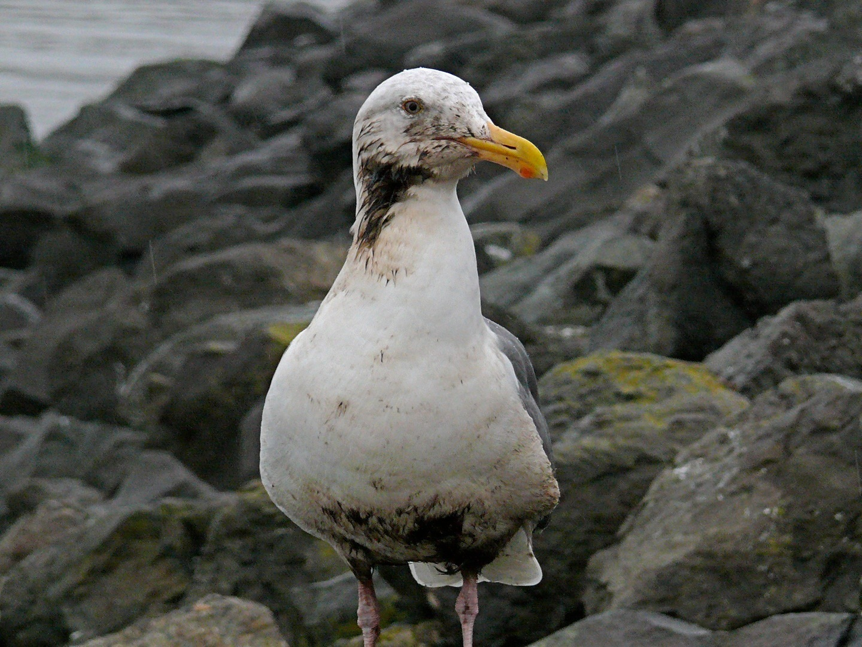oiseau pétrole