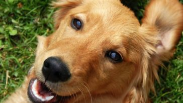 chien golden retriever