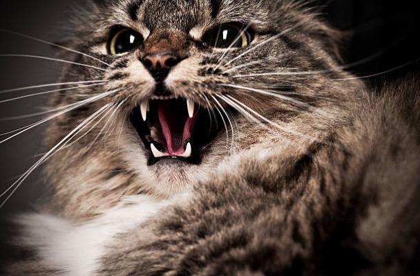 chat fou