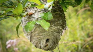 nid de guêpes