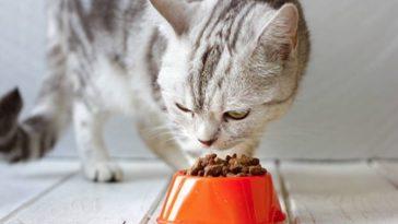 chat mange croquettes gamelle