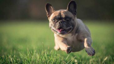 chien carlin court