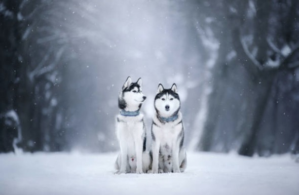 chiens huskies neige hiver