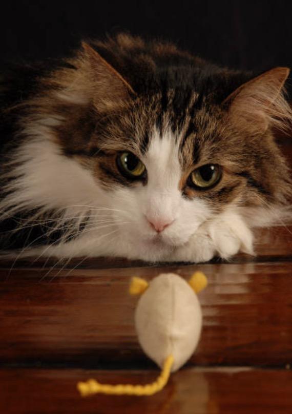 chat joue souris