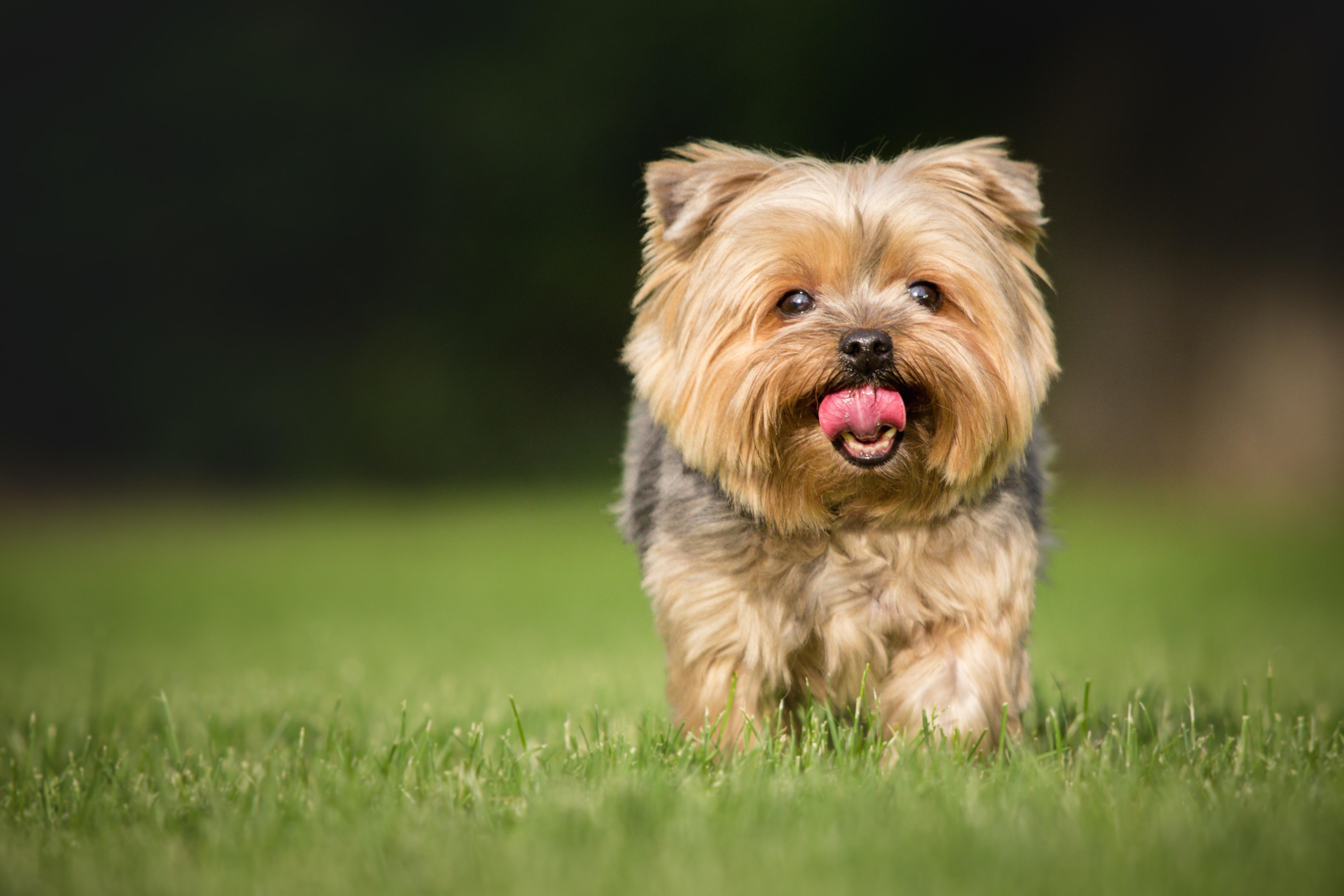 chien yorkshire court