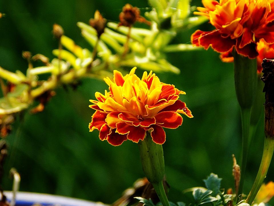 oeillet d'inde fleur