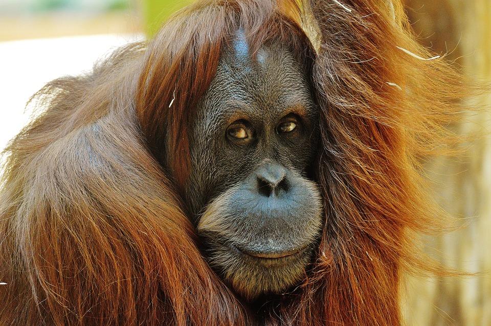grand singe