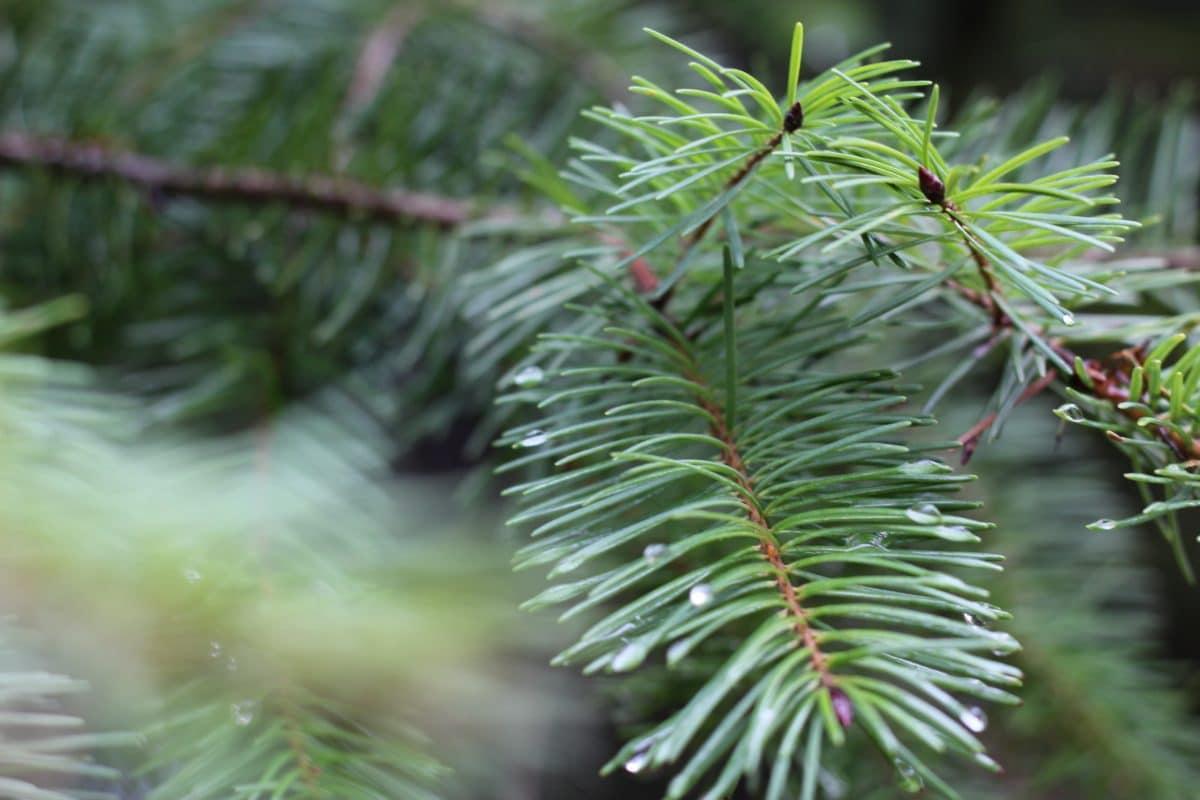branche conifère