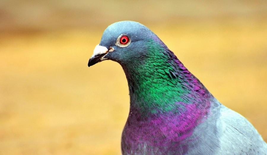 pigeons 11 astuces pour les loigner le tout sans leur faire de mal. Black Bedroom Furniture Sets. Home Design Ideas