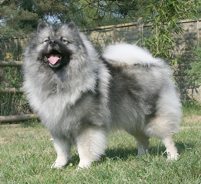 chien keeshond