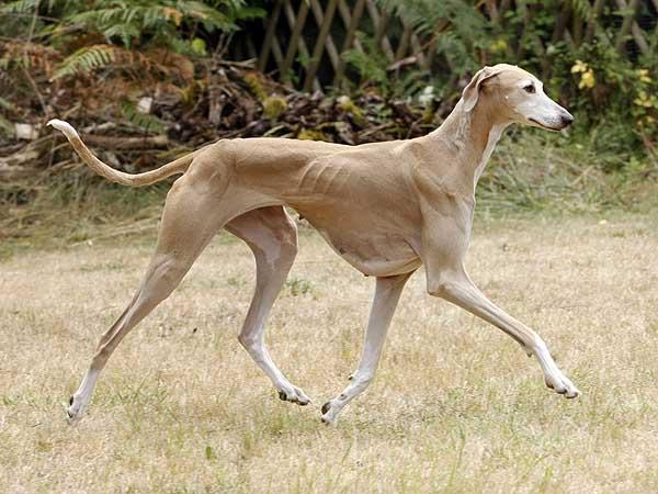 chien azawakh