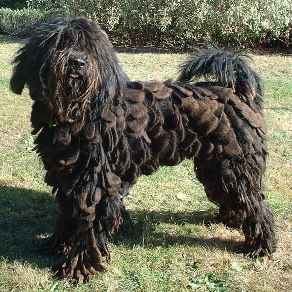chien berger de bergame