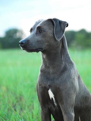 chien blue lacy