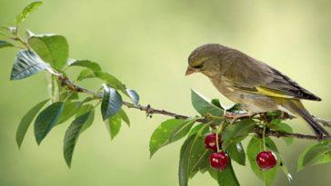 oiseau arbre cerise fruit