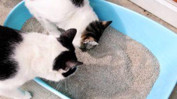 chats litière