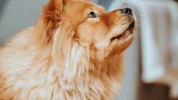 chien roux pleure
