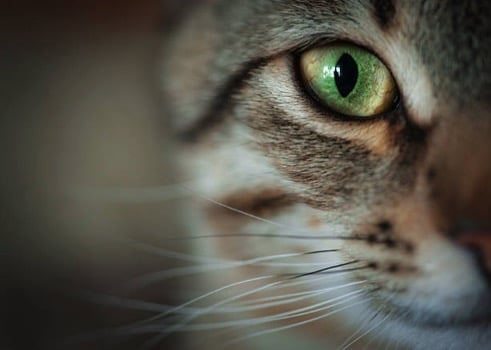 Chat yeux verts regard moustaches